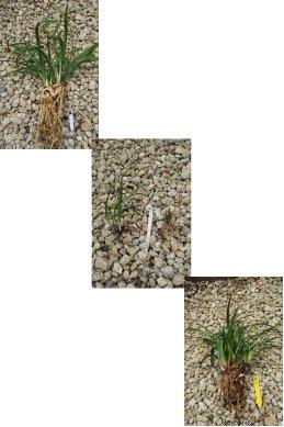 日本春蘭(日輪・光琳・雪山)の根の状態