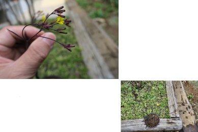 カラスバニガナ咲く