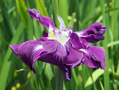 霓裳羽衣の花