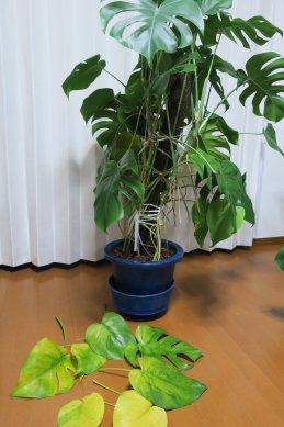 深植えモンステ・1週間で7枚黄葉