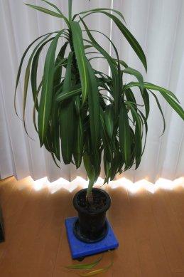 ドラセナも根鉢を大きく崩したので2枚下葉が黄変したが、その後変化なし