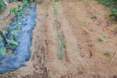 野菜畑の現状