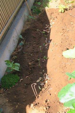 サトイモの芽か