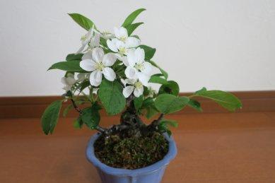 姫リンゴの花が咲いた