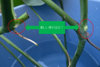 白い部分が新芽の出る位置?