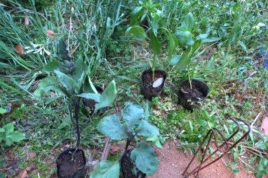 茄子とピーマンの苗