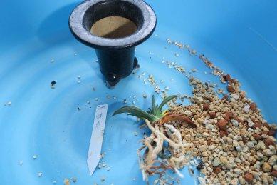 瑞泉・葉と根の状態