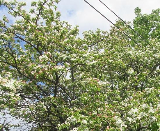白い花ズミ