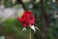29バルサイユのバラ