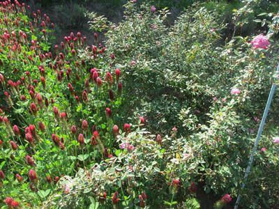 原種系バラとストロベリーキャンドル