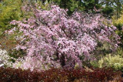 八重紅枝垂れ桜ab_1