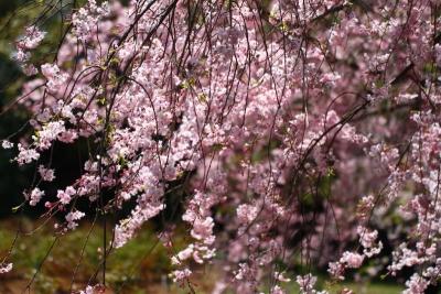 八重紅枝垂れ桜b_1