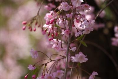 八重紅枝垂れ桜c_1