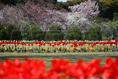 チューリップ&桜のコラボa_1