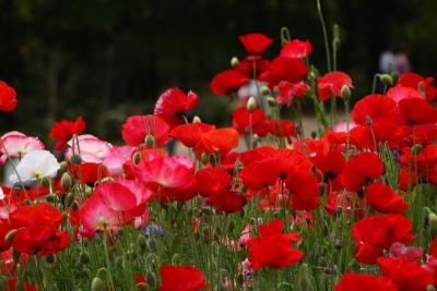 咲き競う花畑h_1