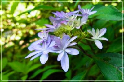 紫陽花イシヅチノヒカリ_1枠