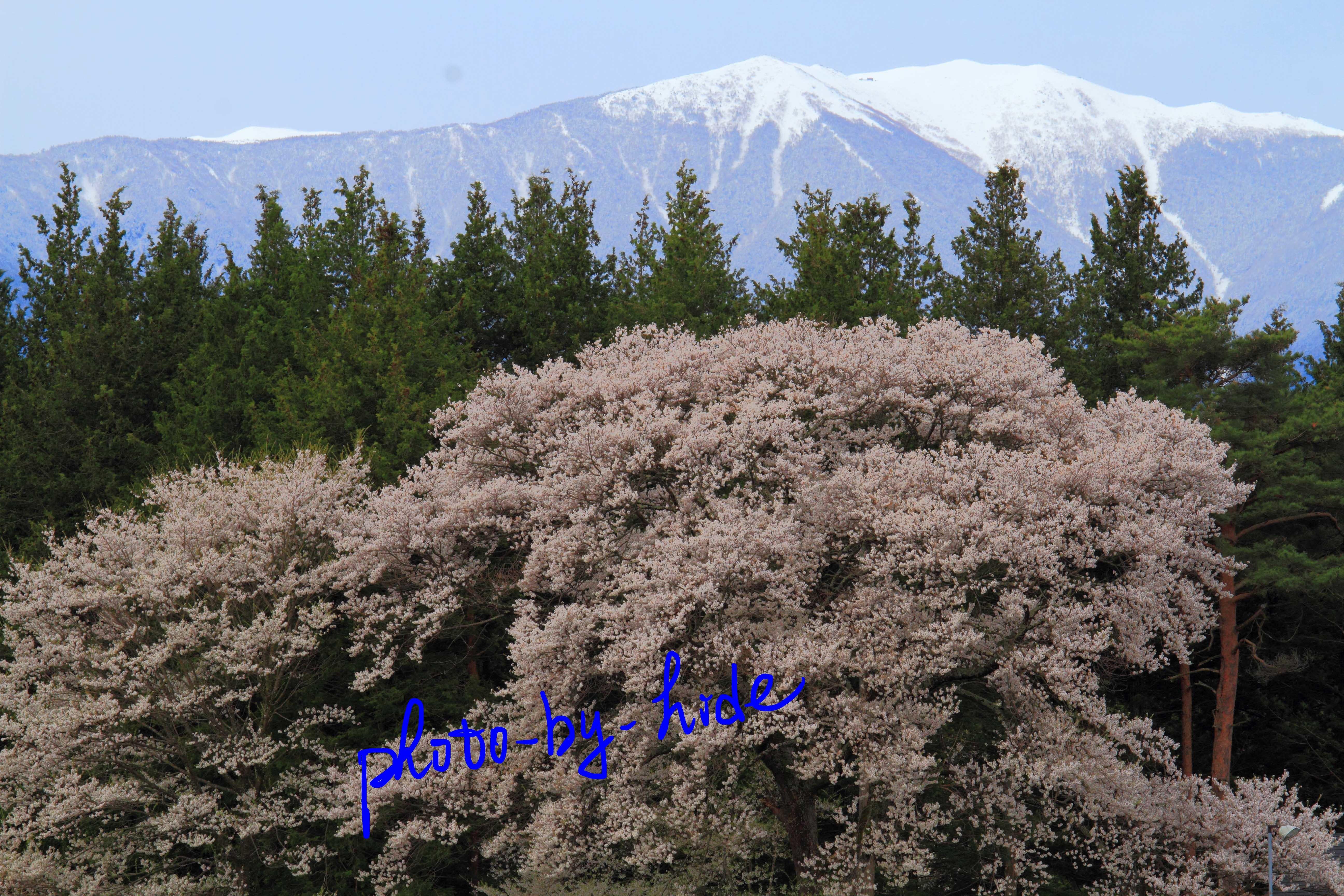 箕輪桜1_edited-1