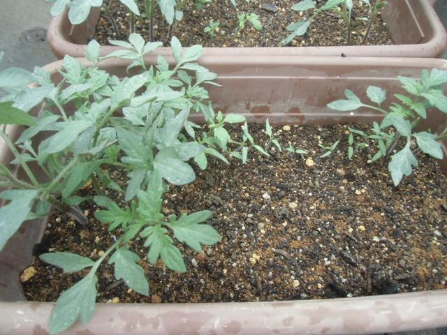バラツキの激しいトマト