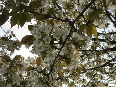 お散歩道の山桜2