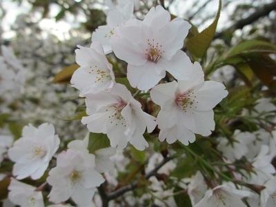 お散歩道の山桜3