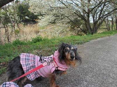 山桜と実結2017