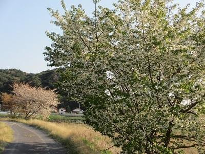 お散歩道の山桜5