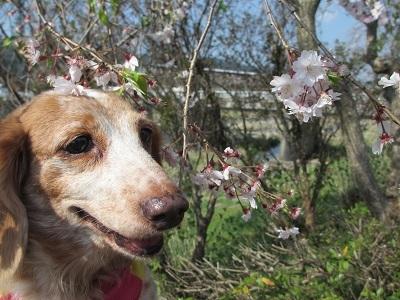 枝垂桜と笑花2017