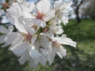 歯抜けな花びら状態でもやっぱり桜は美しい~
