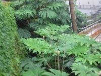 ヤツデに似た植物