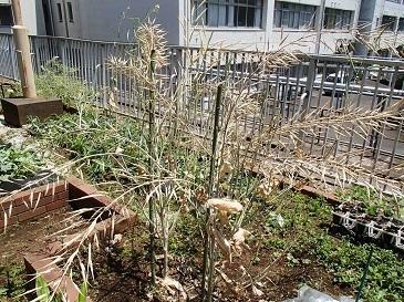 安藤早生 採種
