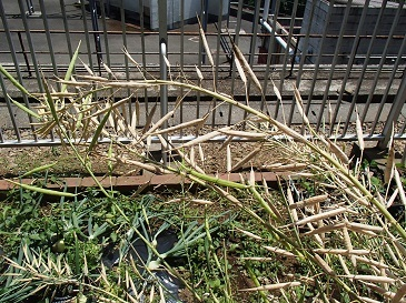 安藤早生 採種2