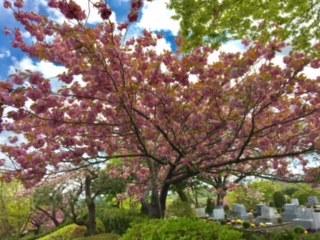 冨士霊園八重桜