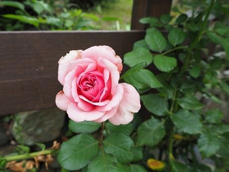 ローズポンパドゥール2番花(2)