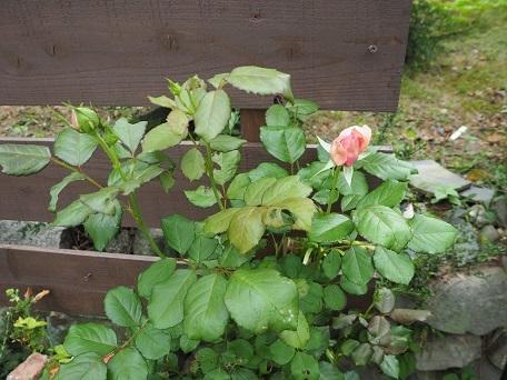 ローズポンパドゥール2番花(3)