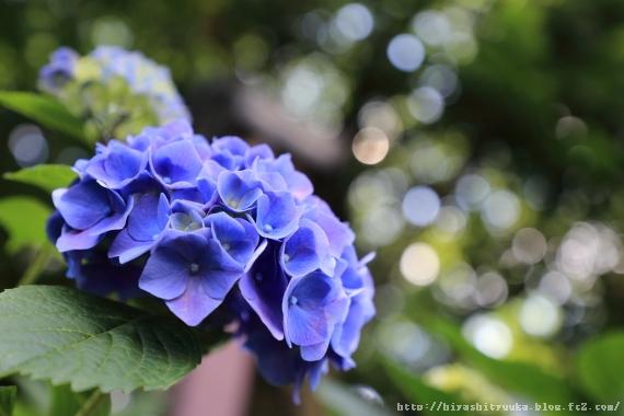 紫陽花3-SN