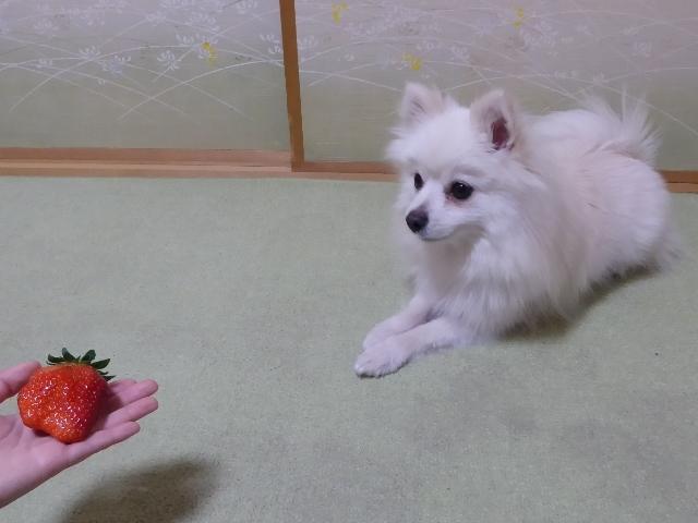 20170315ポンころ苺③