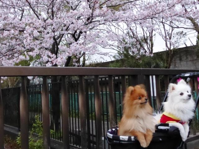 20170408ポンころ桜③