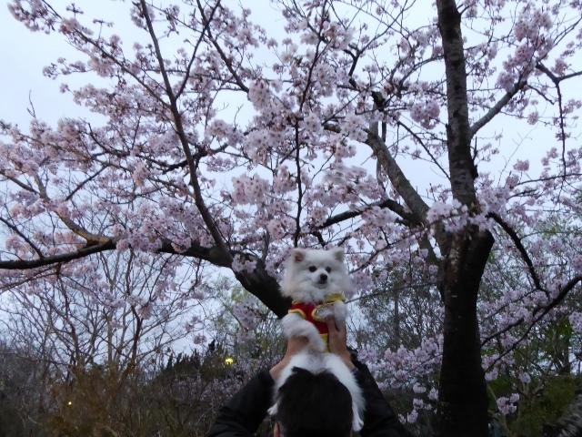 20170408ポンころ桜④