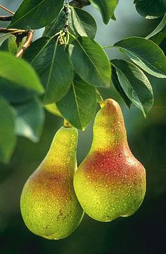 240px-Pears.jpg