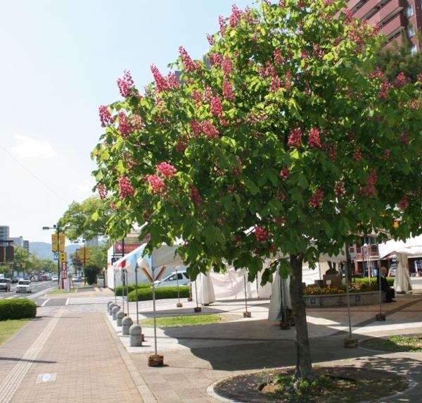 17IMG_8693 ベニバナ栃の木(600x572)