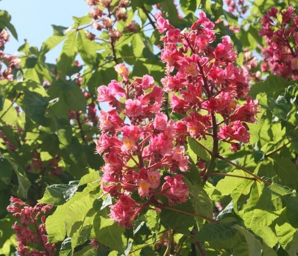 18IMG_8695 ベニバナ栃の木の花(600x517)