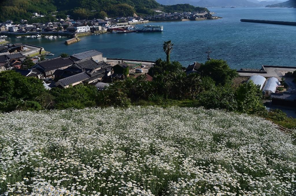 除虫菊の丘