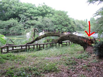 井の頭公園の倒れた桜
