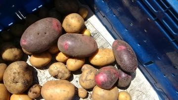 無肥料ジャガイモ