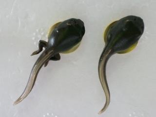 アズマヒキガエル 幼生と幼生