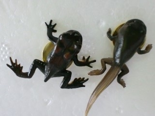 アズマヒキガエル 幼生と幼体