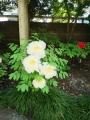 牡丹庭園3