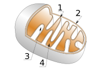 200px-Mitochondrie_svg.png