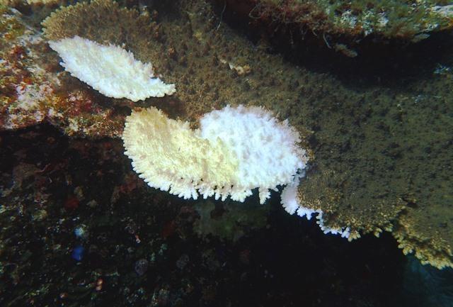 食害されたサンゴweb