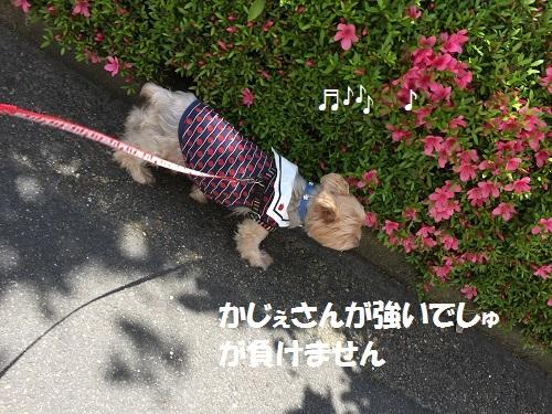 お散歩ゴン 013